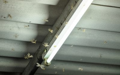 What Causes Flying Ants to Enter your House?