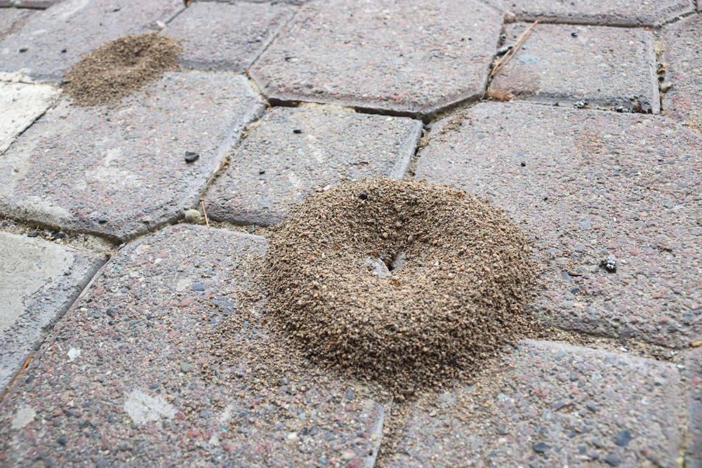 Ant colonies build and accumulate on outdoor walkways