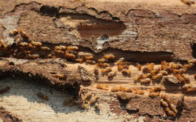 The History of Termite Protection in Australia