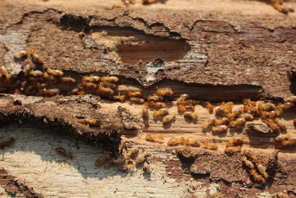 Termites feasting on wood in a home.