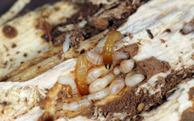 Finding an Eco-Friendly Termite Control Service