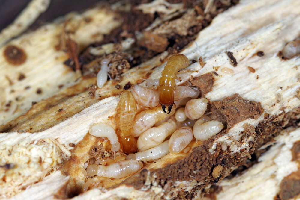 Termites feasting on a piece of wood.
