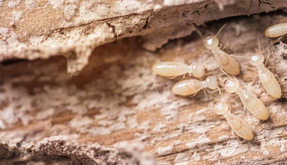 Latest Statistics and Facts on Termites in Australia