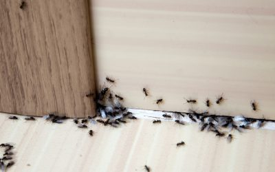 Why Do I Suddenly Have Ants in My House?
