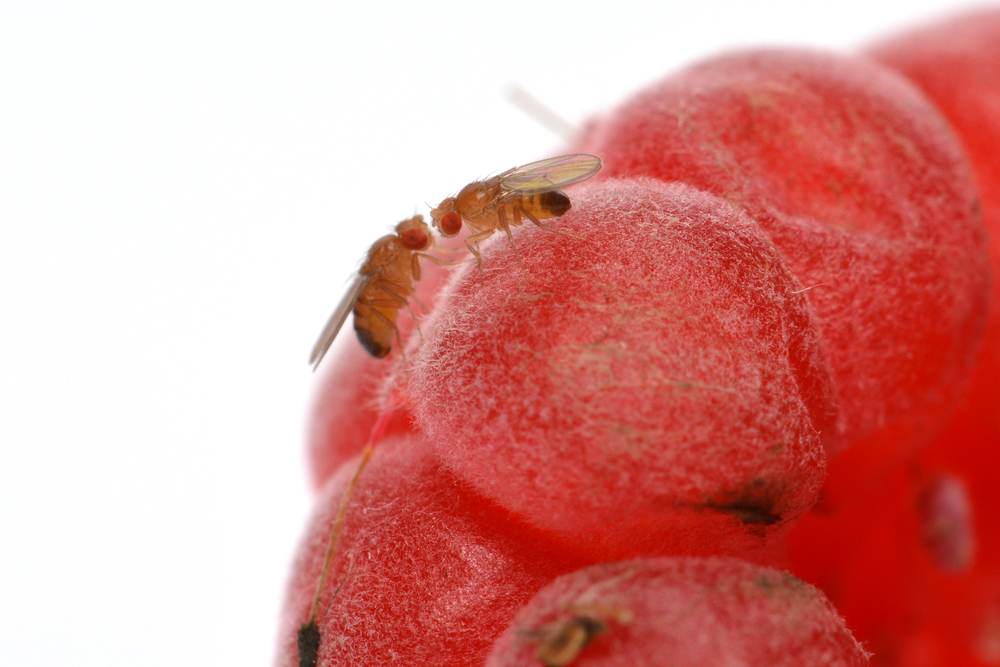 How Do Fruit Flies Damage Fruit?