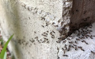 Here's Why You Need to Get Rid of Ants