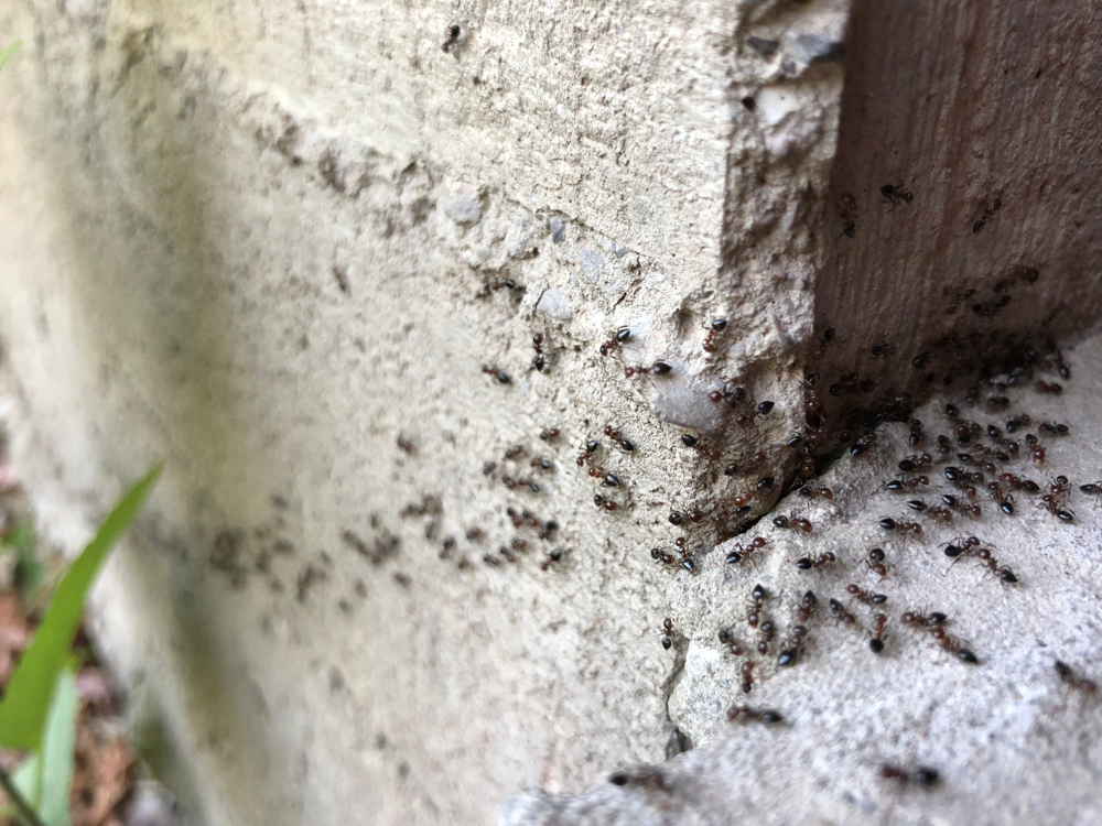 Ants in a trailing leading from the garden to a window.